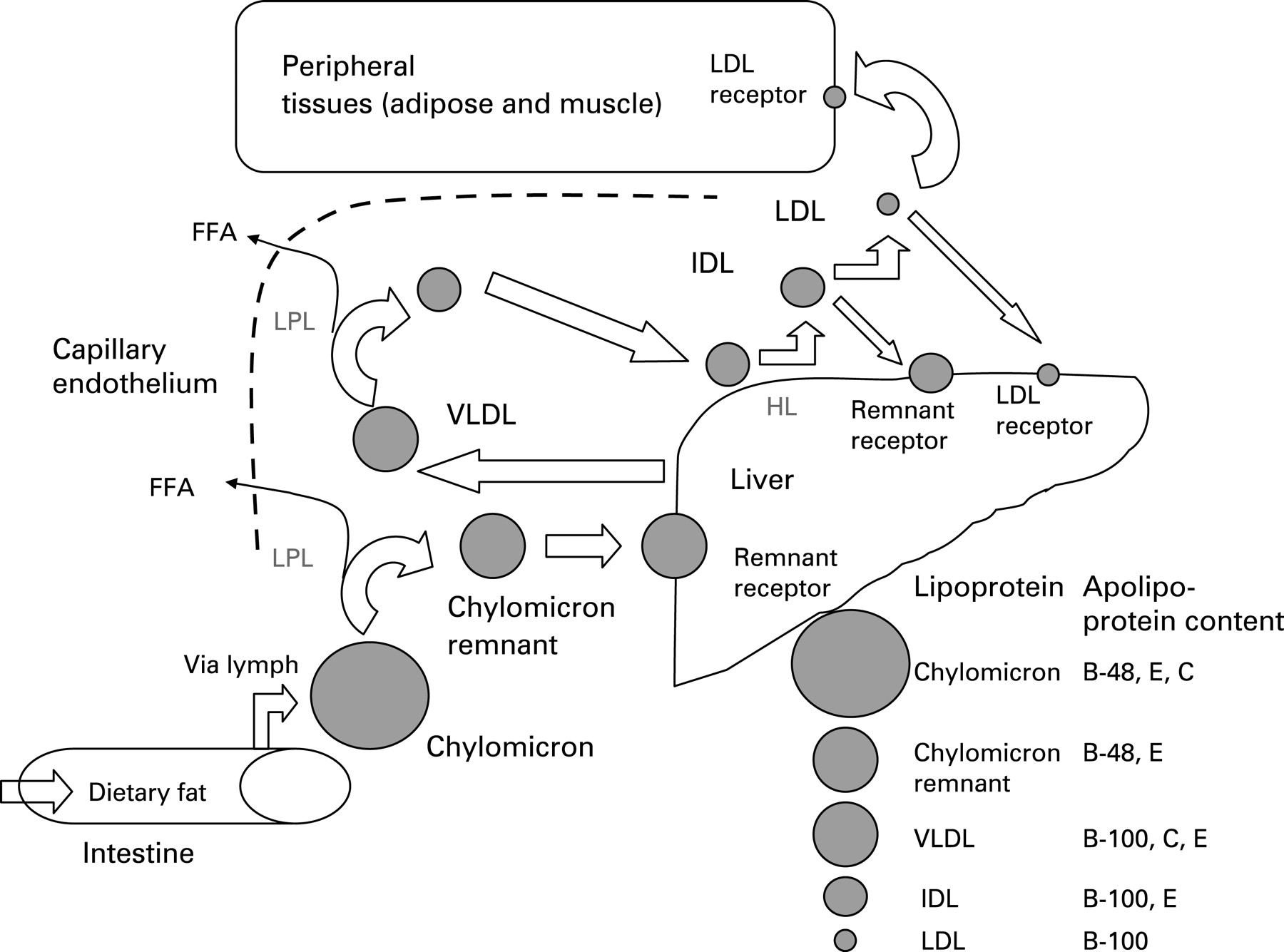 state the components needed to synthesise a triglyceride Dehydration synthesis in lipids in the body, common lipids include triglycerides -- dietary and storage these are the major components of cell membranes.